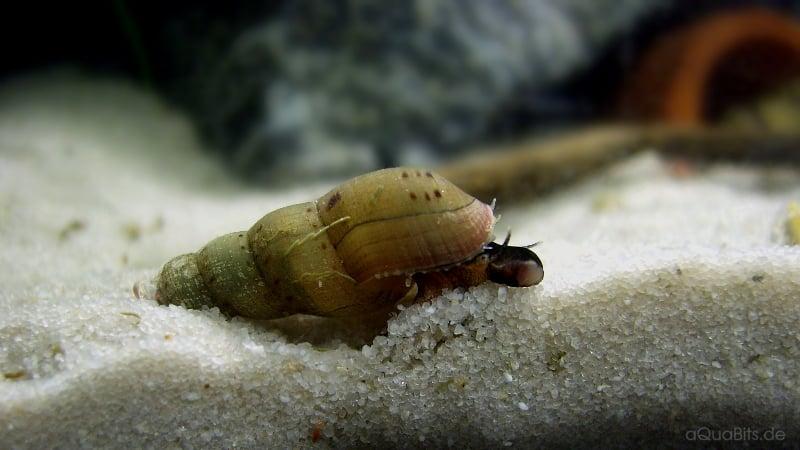 Melanoides tuberculata - Malaiische Turmdeckelschnecke 2