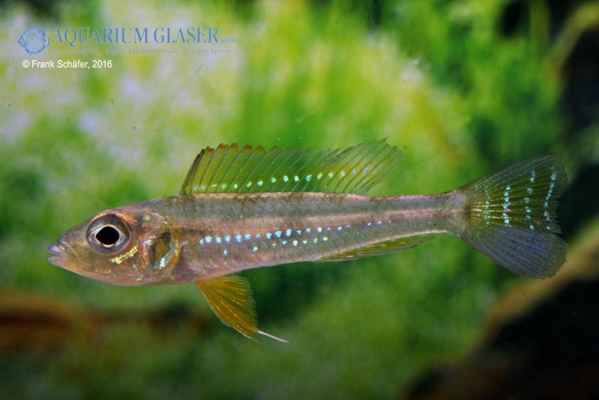 "Biotoecus opercularis ""Curua"" - Sandhügel-Zwergcichlide 8"