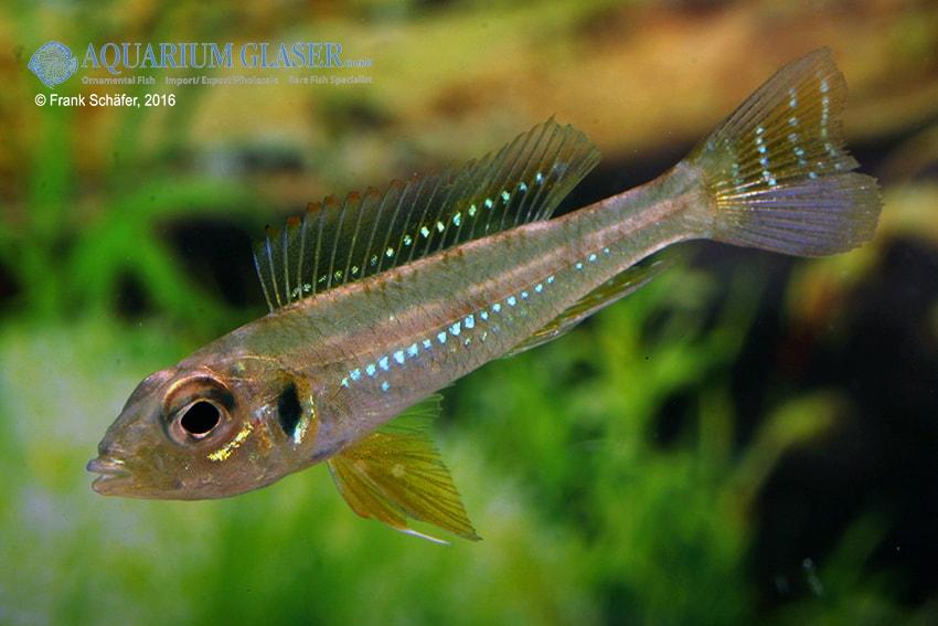 "Biotoecus opercularis ""Curua"" - Sandhügel-Zwergcichlide 9"