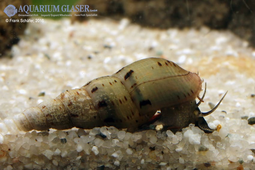 Melanoides tuberculata - Malaiische Turmdeckelschnecke 7