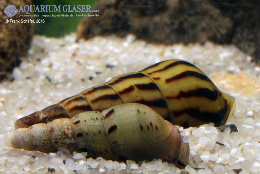 Melanoides tuberculata - Malaiische Turmdeckelschnecke 8