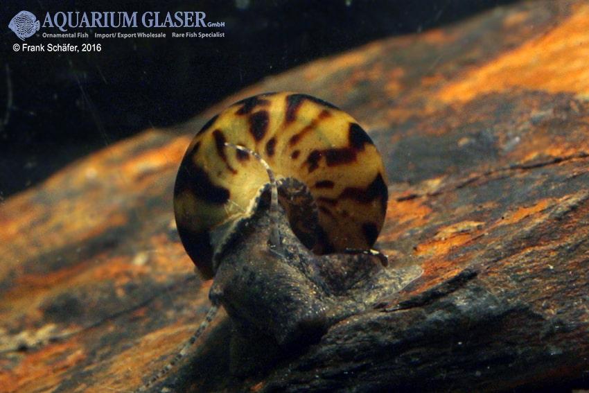 Melanoides tuberculata - Malaiische Turmdeckelschnecke 11
