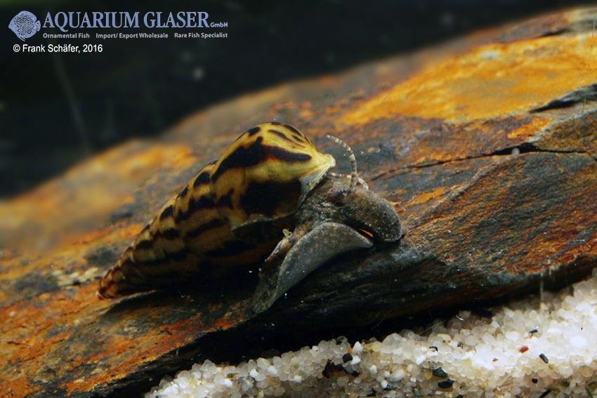Melanoides tuberculata - Malaiische Turmdeckelschnecke 12