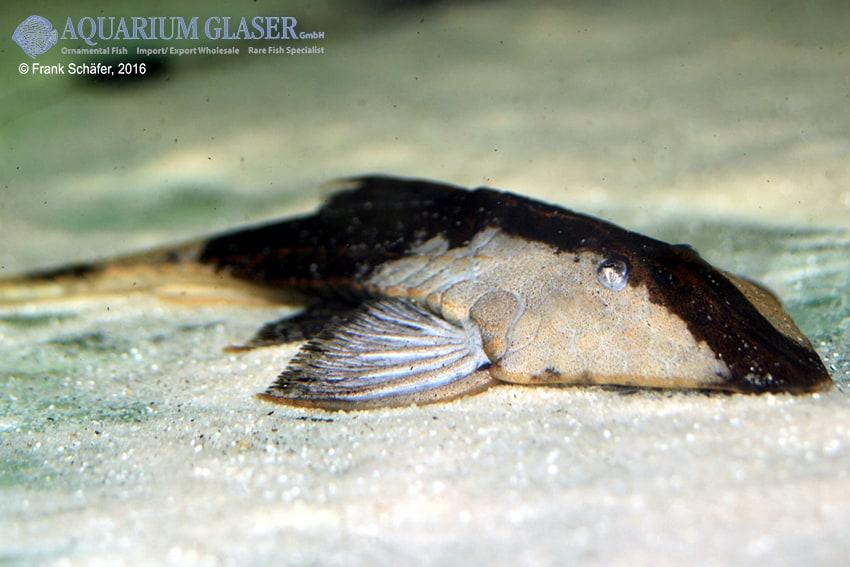Pseudohemiodon apithanos - Chamäleon-Flunderharnischwels 8