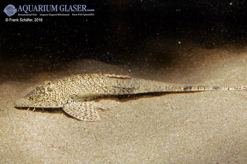 Pseudohemiodon apithanos - Chamäleon-Flunderharnischwels 14