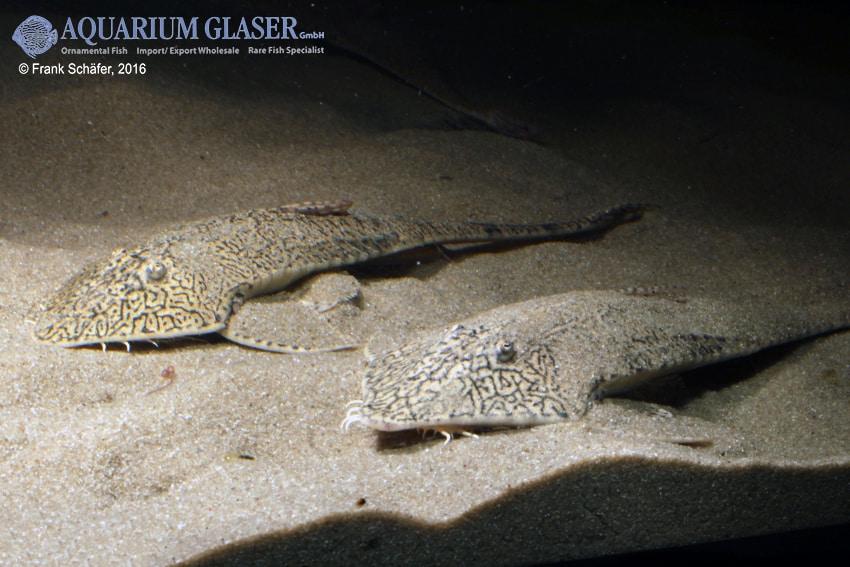 Pseudohemiodon apithanos - Chamäleon-Flunderharnischwels 15