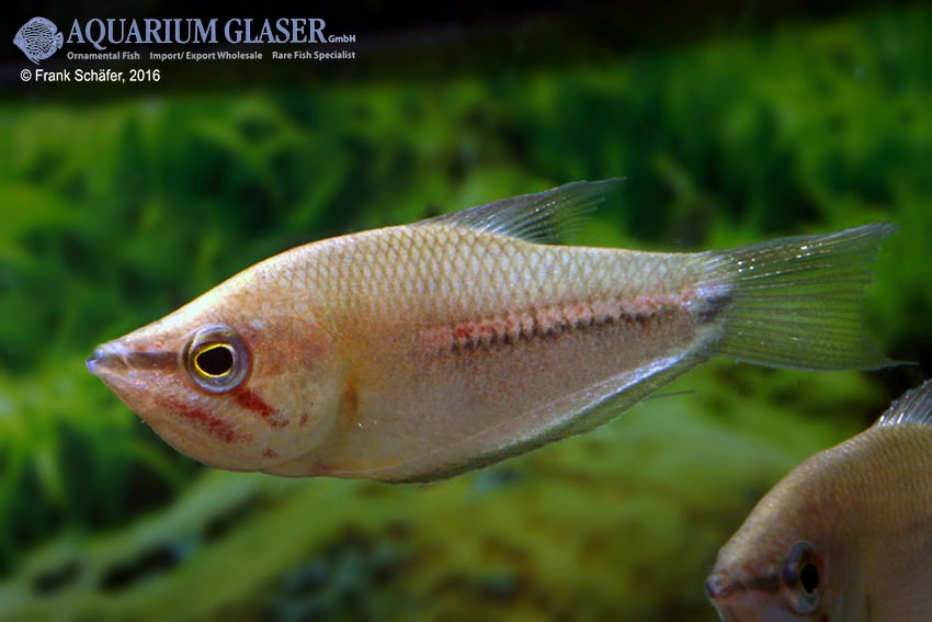 Sphaerichthys acrostoma - Mondschein-Schokoladengurami 3