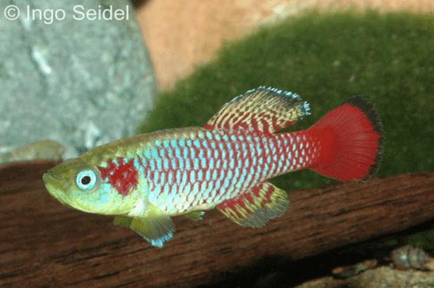 Nothobranchius guetheri - Günthers Prachtgrundkärpfling 1