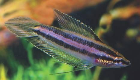 Frisch importiertes Männchen von Parosphromenus sp. Ampah Photo Frank Schäfer