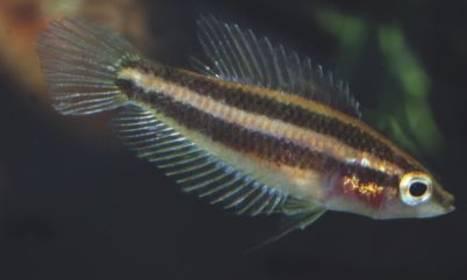 Frisch importiertes Weibchen von Parosphromenus sp. Ampah Photo Frank Schäfer