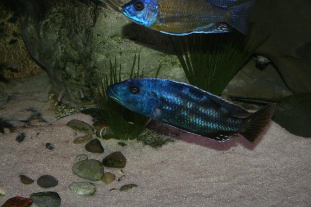 Nimbochromis fuscotaeniatus 2