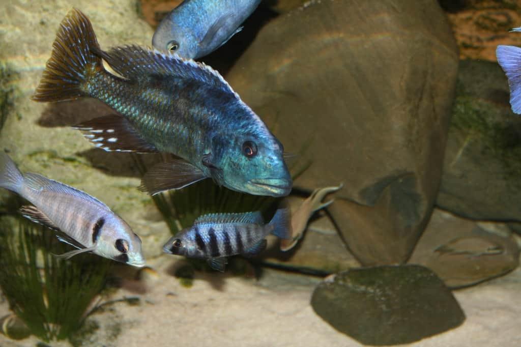 Nimbochromis fuscotaeniatus 1