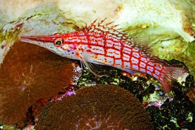 Immer neugierig: Langschnauzen-Korallenwächter. Foto: Rainer Stawikowski