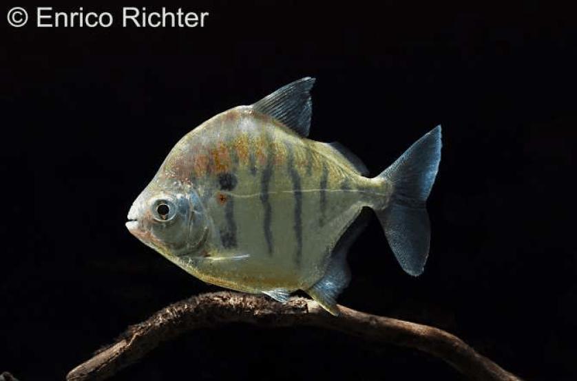 Metynnis fasciatus - Gestreifter Scheibensalmler 1