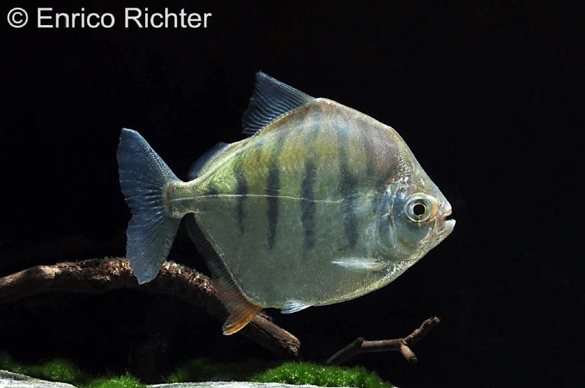 Metynnis fasciatus - Gestreifter Scheibensalmler 2