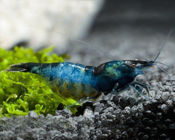 """Neocaridina davidi (heteropoda) """"Blue Velvet"""" 1"""