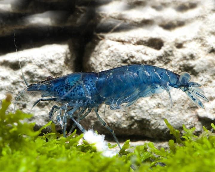 """Neocaridina davidi (heteropoda) """"Blue Velvet"""" 4"""