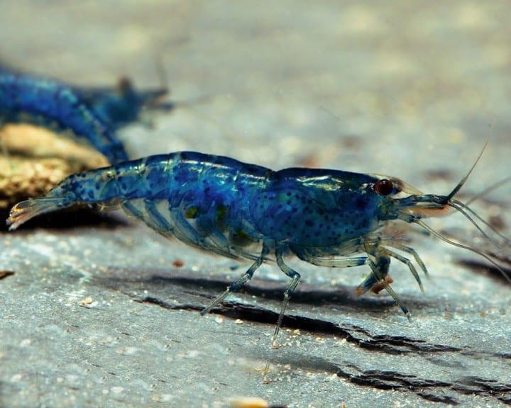 """Neocaridina davidi (heteropoda) """"Blue Velvet"""" 5"""