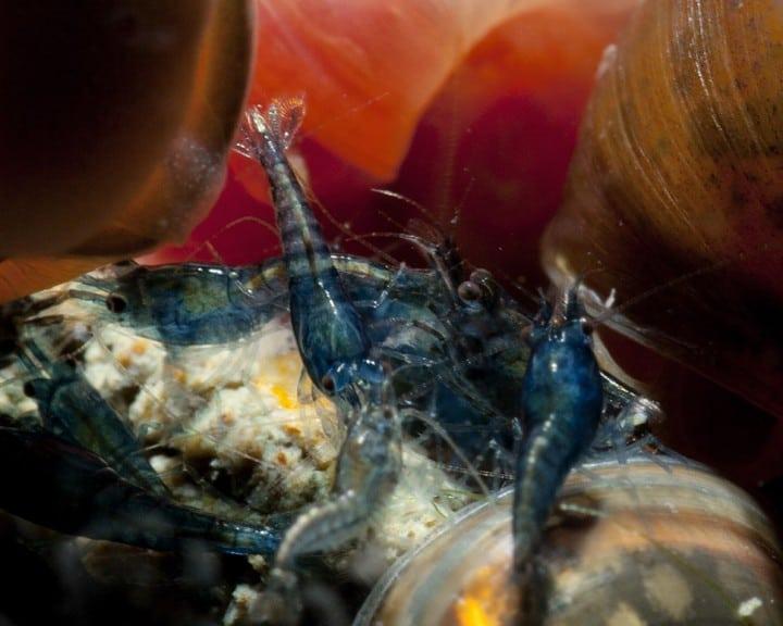 """Neocaridina davidi (heteropoda) """"Blue Velvet"""" 6"""