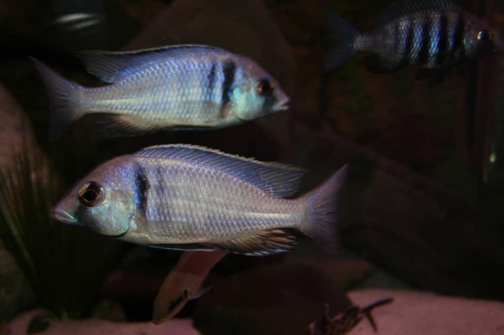 "Placidochromis milomo ""red Mbenji"" 1"