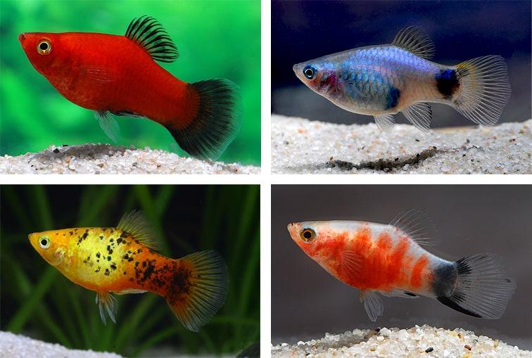 Lebendgeb rende zahnkarpfen my fish for Gartenteichfische arten