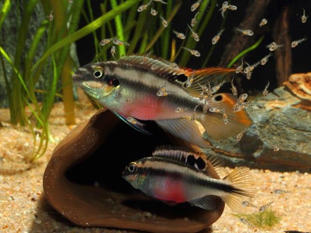 Pelvicachromis pulcher - Purpurprachtbuntbarsch 6
