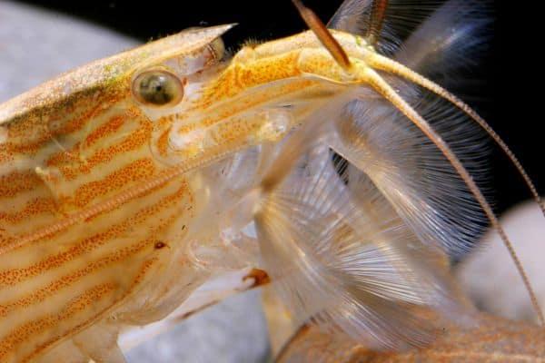 Foto: FLH. - Molukken-Fächergarnele: Mit den fächerartigen Fortsätzen am Mund werden Nährstoffe aus dem Wasser gefiltert.
