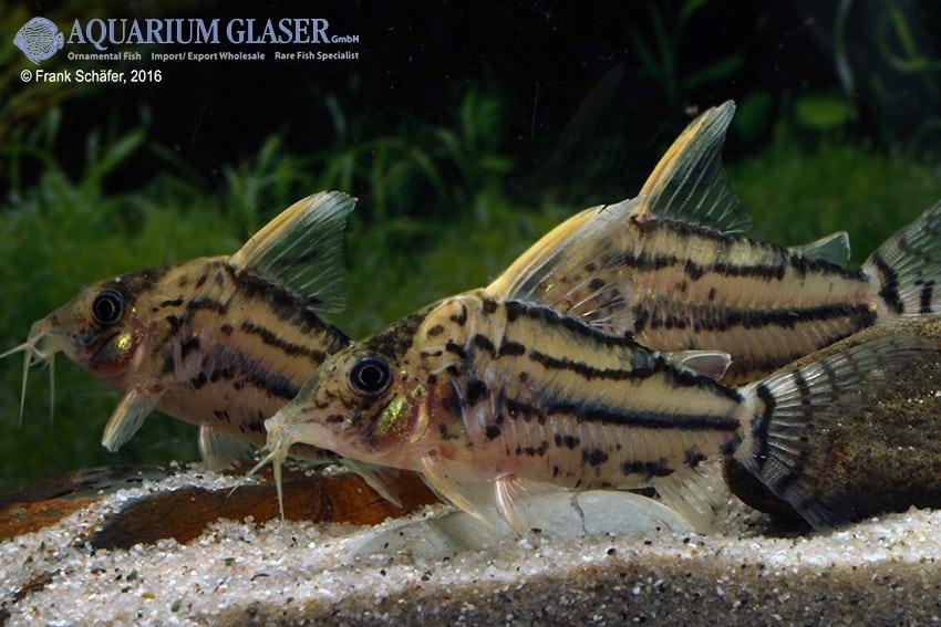 Corydoras aff. pulcher - Hochflossen-Parallelstreifenpanzerwels 5