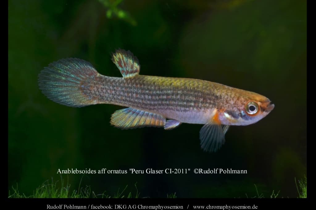 "Anablebsoides aff ornatus ""Peru Glaser CI-2011″ 4"