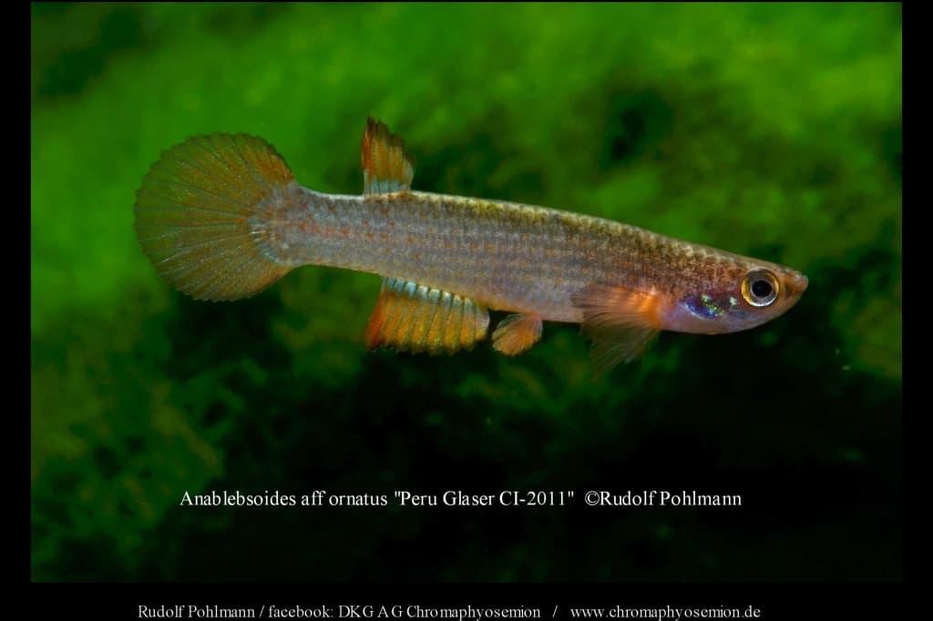 "Anablebsoides aff ornatus ""Peru Glaser CI-2011″ 2"