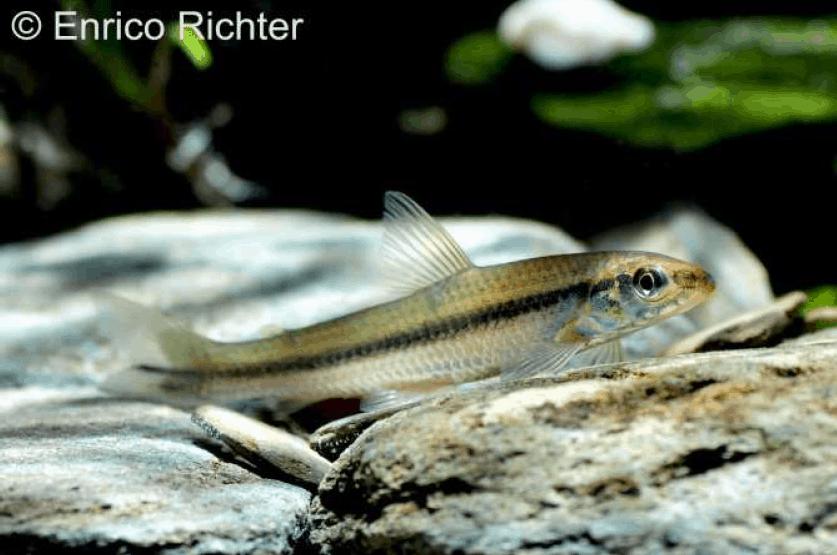 Apareiodon affinis - La Plata-Algensalmler 3