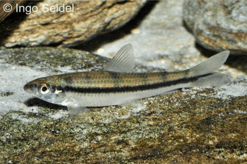 Apareiodon affinis - La Plata-Algensalmler 2