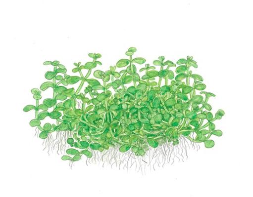 Micranthemum 'Monte Carlo' 2