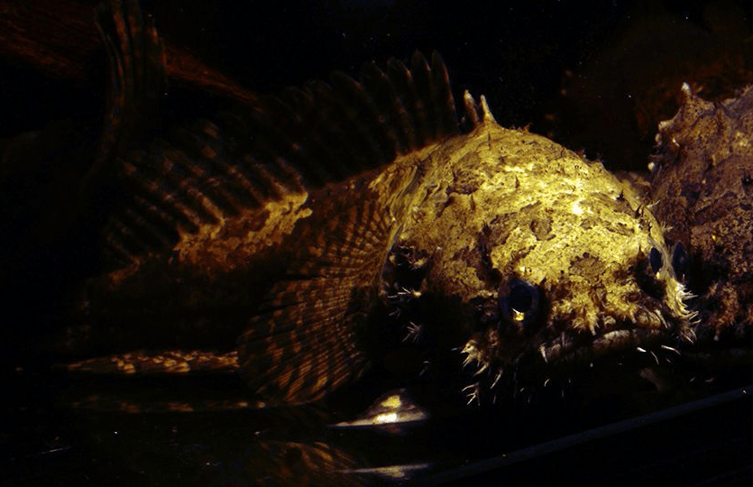 Allenbatrachus grunniens - Krötenfische 5