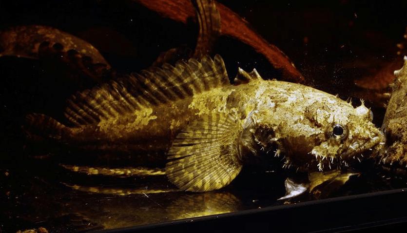 Allenbatrachus grunniens - Krötenfische 4