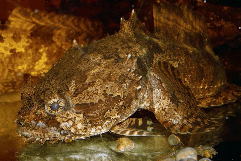 Allenbatrachus grunniens - Krötenfische 3