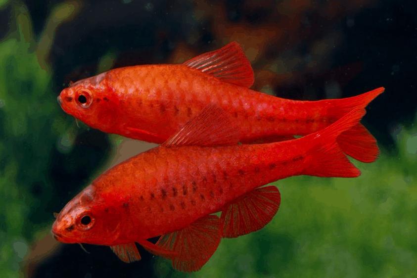 Barbus titteya Super Red 1