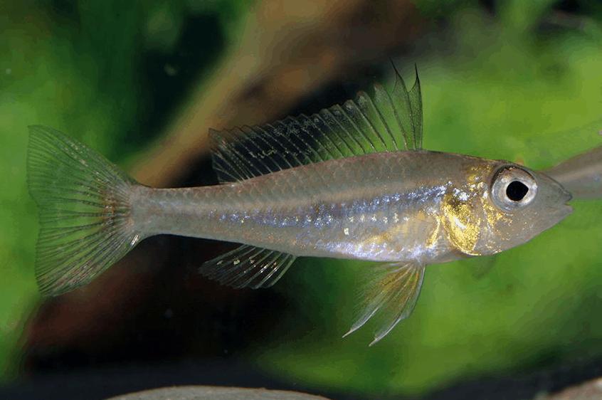 Biotoecus dicentrarchus - Zwergcichliden 4
