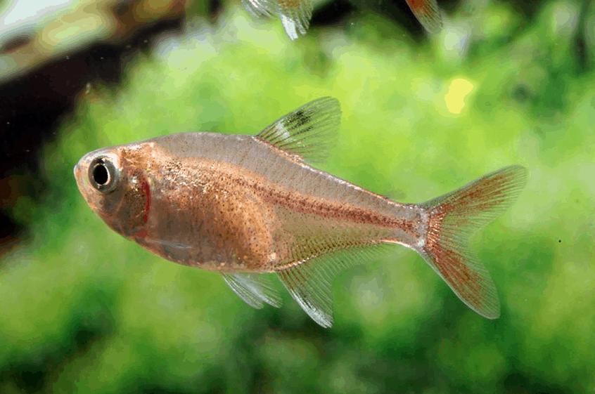 Hyphessobrycon axelrodi 1