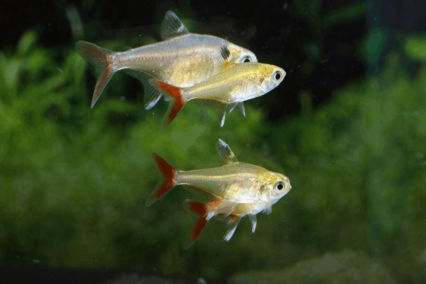 Hyphessobrycon axelrodi 2