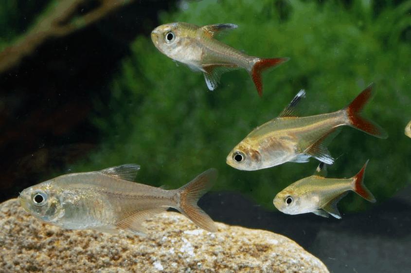Hyphessobrycon axelrodi 4