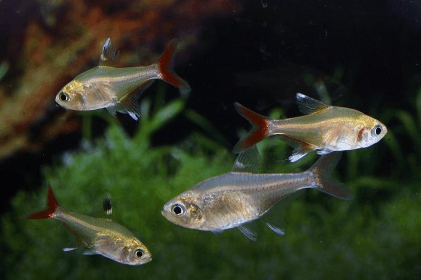 Hyphessobrycon axelrodi 5