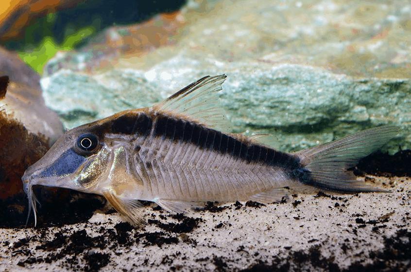Corydoras narcissus 1
