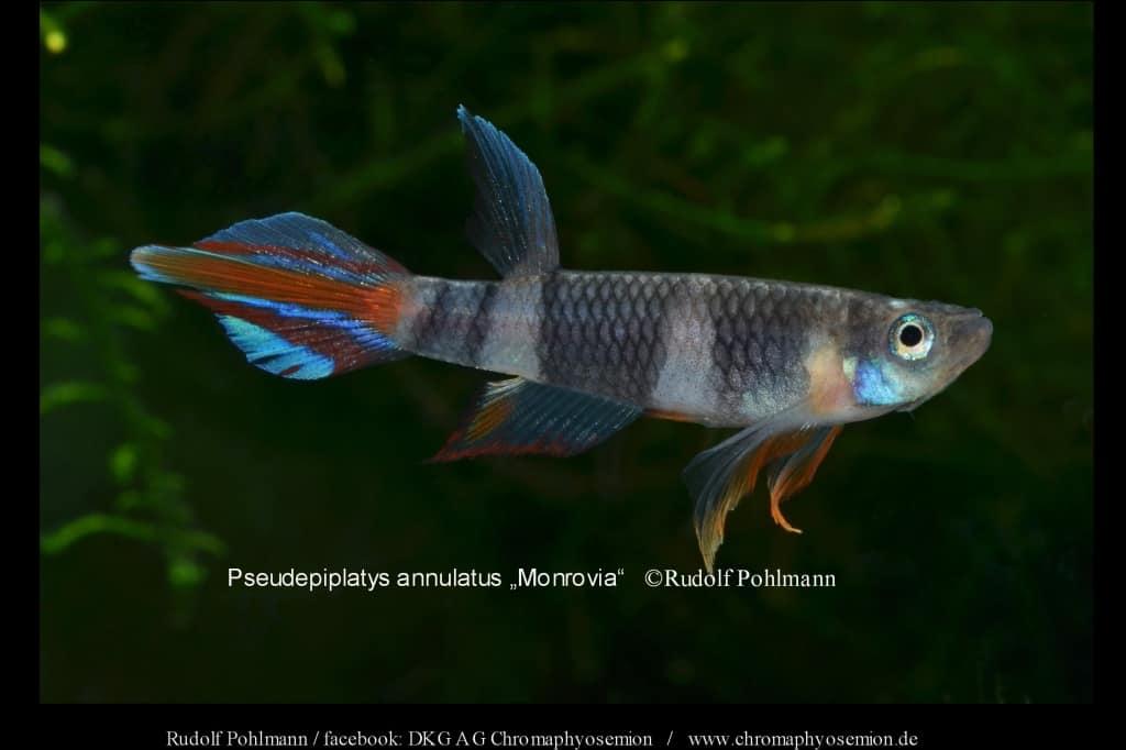 Pseudepiplatys annulatus CONAKRY - Ringelhechtling 3
