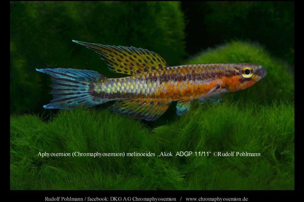 Aphyosemion (Chromaphyosemion) melinoeides / Melinoeides Zweistreifen Prachtkärpfling 3