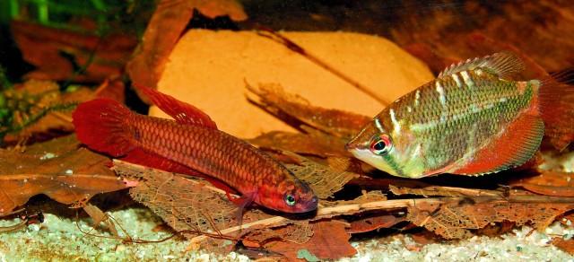 Betta tussyae und Sphaerichthys selantanensis lassen sich gut miteinander vergesellschaften. Foto: Florian Lahrmann