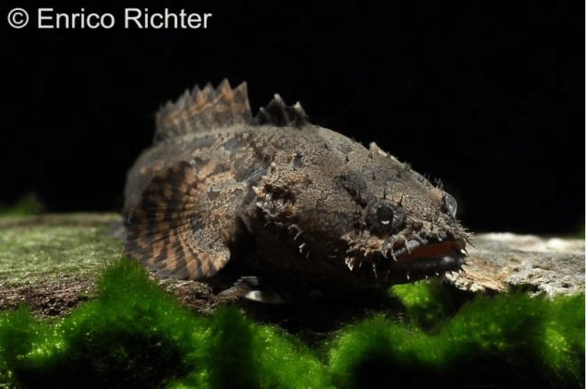Allenbatrachus grunniens - Krötenfische 1