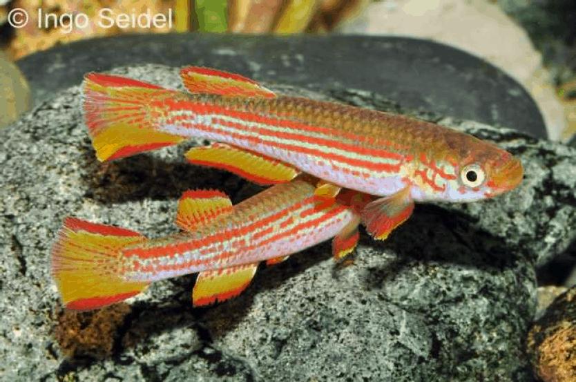 Männchen - Quelle: aqua-global