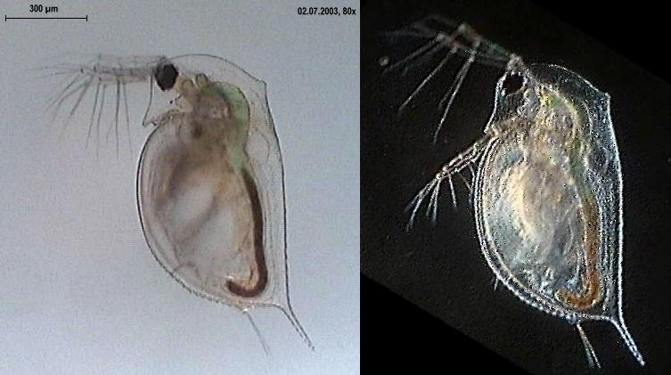 Daphnia_spec - By Mike Krüger at de.wikipedia [CC-BY-3.0 (http://creativecommons.org/licenses/by/3.0) or GFDL (http://www.gnu.org/copyleft/fdl.html)], from Wikimedia Commons