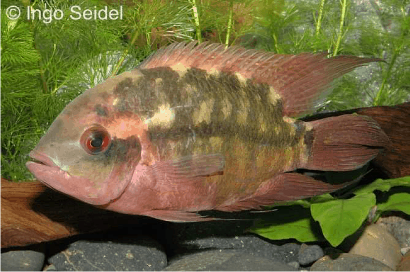 Erwachsenes Männchen - Quelle: aqua-global